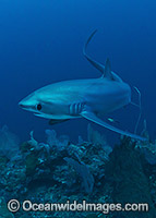 Thresher Shark image