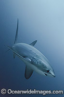 Thresher Shark Alopias pelagicus image