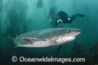 Broadnose Sevengill Shark Photo - Andy Murch