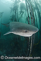 Broadnose Sevengill Shark Notorynchus cepedianus Photo - Andy Murch