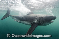 Salmon Shark image
