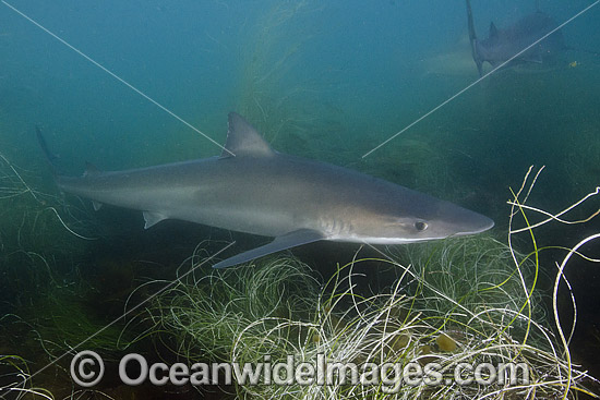 School Shark (Galeorhinus galeus). Also known as Snapper Shark, Tope, and Soupfin Shark. Found worldwide in temperate seas. Photo taken at La Jolla Shores, San Diego, California, Eastern Pacific. Photo - Andy Murch