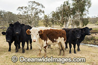 Cattle Ebor Photo - Gary Bell