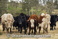 Cattle in a field Ebor Photo - Gary Bell