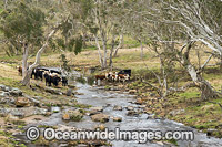 Cattle in a creek at Ebor Photo - Gary Bell