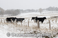 Cattle in snow Guyra Photo - Gary Bell