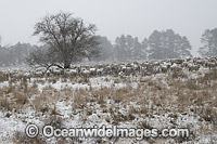 Sheep in snow at Guyra Photo - Gary Bell