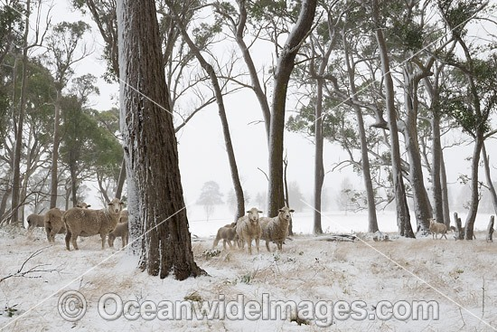 Sheep standing in a field cloaked in snow. Guyra, New England Tableland, New South Wales, Australia. Photo - Gary Bell