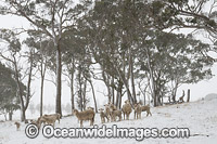 Sheep in snow Guyra Photo - Gary Bell