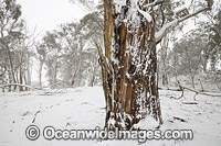 Eucalypt forest covered in snow Photo - Gary Bell