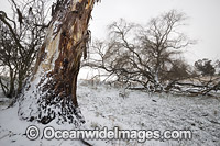 Eucalypt tree covered in snow Photo - Gary Bell