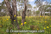 Paper Flowers and Eucalypts Photo - Gary Bell