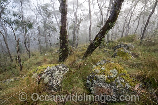 Snow gum forest cloaked in mist, on the Great Escarpment, situated in Gondwana Rainforest, New England National Park, NSW, Australia. This rainforest is inscribed on the World Heritage List in recognition of its outstanding universal value. Photo - Gary Bell