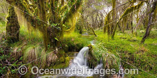 Cascade in a rainforest cloaked in hanging moss, situated in New England National Park, New South Wales, Australia. This rainforest is inscribed on the World Heritage List in recognition of its outstanding universal value. Photo - Gary Bell