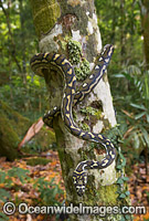 Carpet Python Morelia spilota Photo - Gary Bell