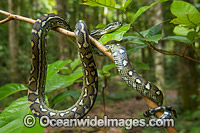 Carpet Python on tree Photo - Gary Bell
