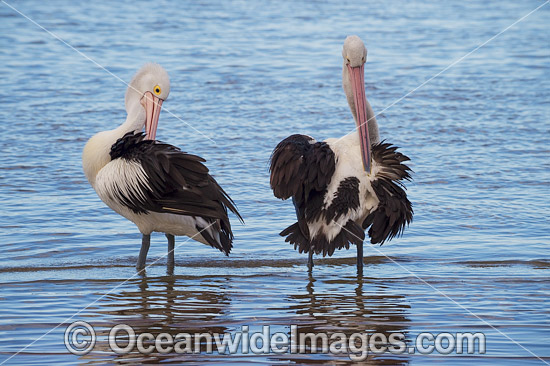 Australian Pelican (Pelecanus conspicillatus). This large water bird is found throughout Australia and New Guinea. Also in Fiji and parts of Indonesia and New Zealand. Photo taken at Central Coast, NSW, Australia. Photo - Gary Bell