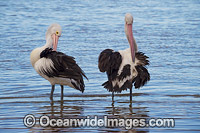 Australian Pelican Central Coast Photo - Gary Bell