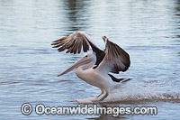 Australian Pelican landing on estuary Photo - Gary Bell