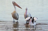Australian Pelicans Central Coast Photo - Gary Bell