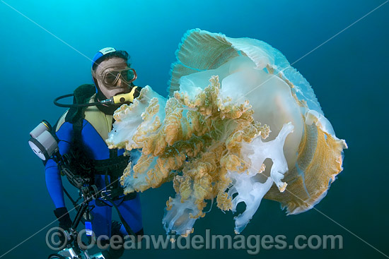 Diver observing a Giant Crinkled Jellyfish (Versuriga anadyomene). Photo was taken in the Solitary Islands Marine Sanctuary, Coffs Harbour, New South Wales, Australia.