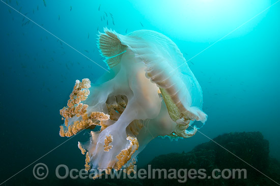 Giant Crinkled Jellyfish (Versuriga anadyomene). Photo was taken in the Solitary Islands Marine Sanctuary, Coffs Harbour, New South Wales, Australia.
