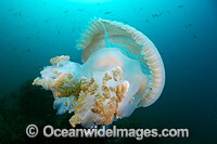 Giant Crinkled Jellyfish Photo - Gary Bell