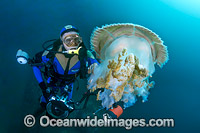 Diver and Giant Crinkled Jellyfish Photo - Gary Bell