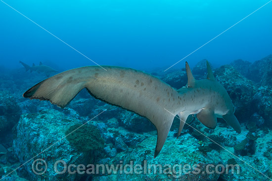 Grey Nurse Shark (Carcharias taurus). Known as Grey Nurse Shark in Australia, Sand Tiger Shark in USA and Ragged-tooth Shark in South Africa. Photo taken at Solitary Islands, NSW, Australia. Vulnerable on IUCN Red List of Threatened Species. Photo - Gary Bell
