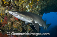 Grey Nurse Shark Coffs Harbour Photo - Gary Bell