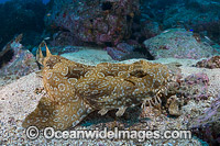 Spotted Wobbegong Shark Photo - Gary Bell