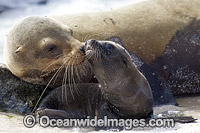 Galapagos Sea Lion mother and pup photo