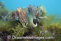 Giant Cuttlefish photo