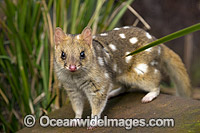 Eastern Quoll Tasmania Photo - Gary Bell