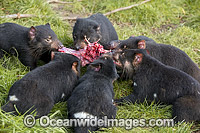 Tasmanian Devils feeding on a carcass Photo - Gary Bell