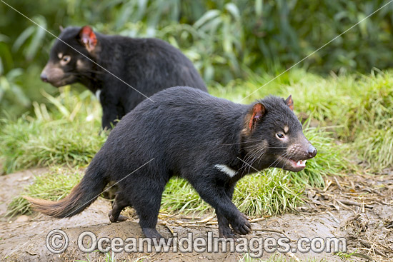 Tasmanian Devil (Sarcophilus harrisii), a carnivorous marsupial of the family Dasyuridae, now found in the wild only on the Australian island state of Tasmania. Classified Endangered on the IUCN Red List of Threatened Species. Photo - Gary Bell