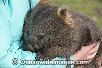 Tasmanian Common Wombat Photo - Gary Bell