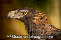Wedge-tailed Eagle photo