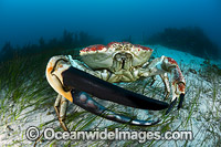 Giant Crab Tasmania Photo - Gary Bell