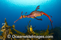 Weedy Seadragon Tasmania Photo - Gary Bell