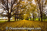 Country road lined with trees and Autumn leaves Photo - Gary Bell