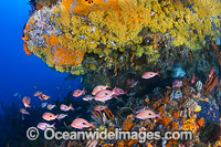 Butterfly Perch and Reef Tasmania Photo - Gary Bell