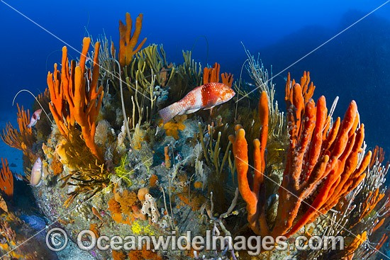 Blue-throated Wrasse (Notolabrus tetricus), female, on temperate deep water reef comprising of Sea Sponges, Whip Corals, Crinoids and Zoanthids. Photo taken at Governor Island Marine Sanctuary, Bicheno, Tasmania, Australia. Photo - Gary Bell