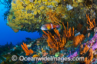 Blue-throated Wrasse and reef Tasmania Photo - Gary Bell