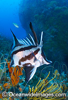 Longsnout Boarfish and Reef Bicheno Photo - Gary Bell