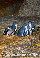 Fairy Penguins Tasmania Photo - Gary Bell