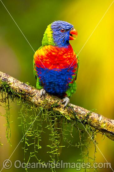how to raise a rainbow lorikeet