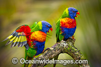 Rainbow Lorikeet pair image