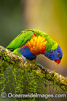 Rainbow Lorikeet Photo - Gary Bell