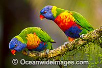 Rainbow Lorikeet pair Photo - Gary Bell